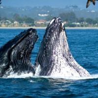 Baleines 1