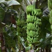 Bananes 1