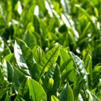 Bancha feuilles