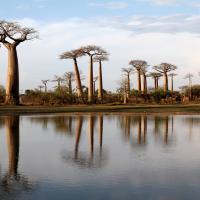 Baobabs de menave