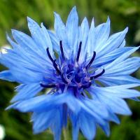 Bleuet 1
