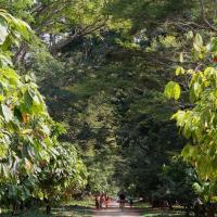 Cacaotiers du sambirano