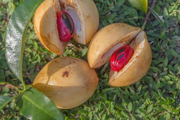 Fruit muscade