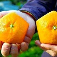Iyokan fruit