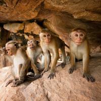 Macaques a toque
