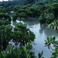 Mangrove de shankou