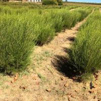 Rooibos plantation 1