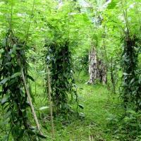 Une plantation de vanille
