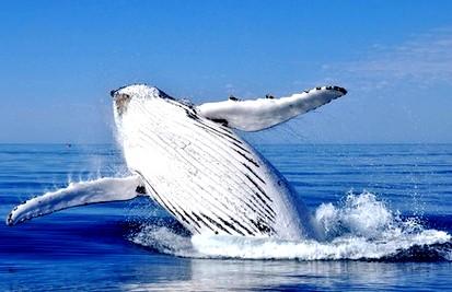 Baleine tadoussac 1