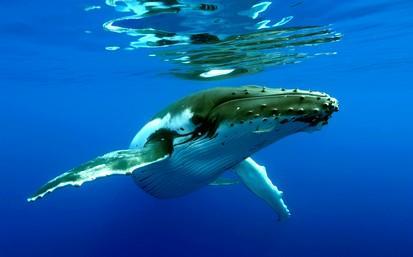 Baleines a bosse