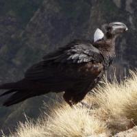 Corbeau corbiveau