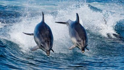 Dauphins 2
