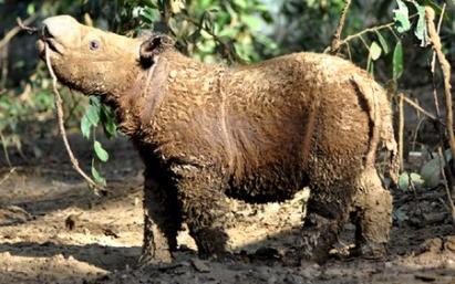 Kinabatangan rhino