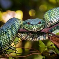 Kinabatangan serpents