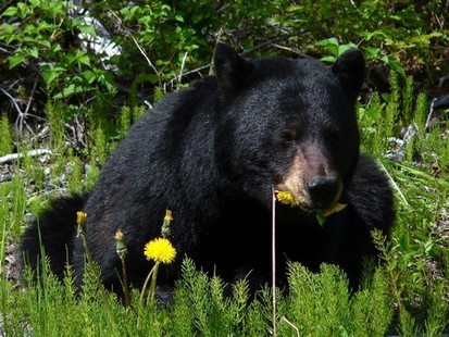 L ours noir 2