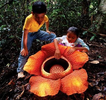 La rafflesia