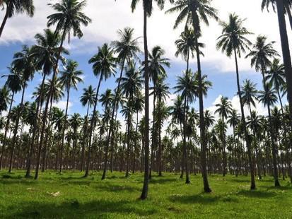 Les plantations de cocotiers anciens