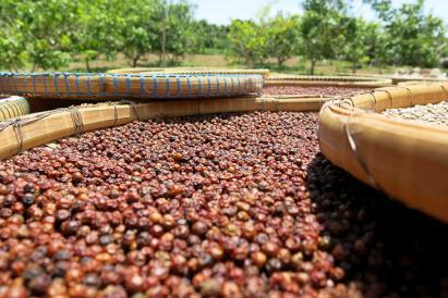 Les plantations du fameux et exceptionnel poivre rouge