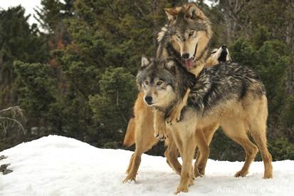 Loup de l est 2