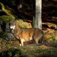 Loup tatras