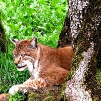 Lynx d eurasie 1