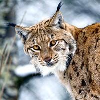 Lynx tatras