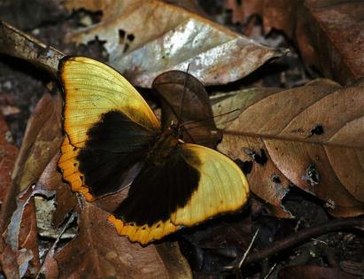 Nuees de papillons