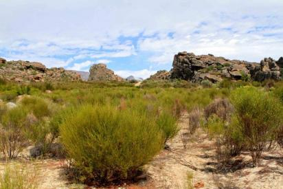 Petit arbuste d afrique du sud2