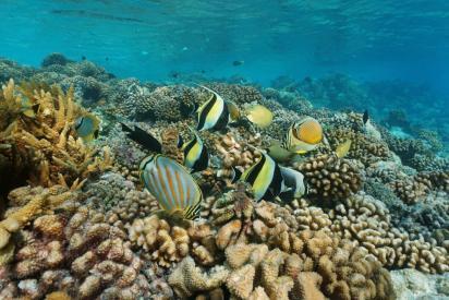 Rangiora coraux