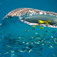 Requins baleines a ningaloo reef2