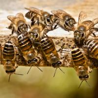 Tanah rata abeilles