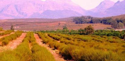Un rooibos d afrique du sud